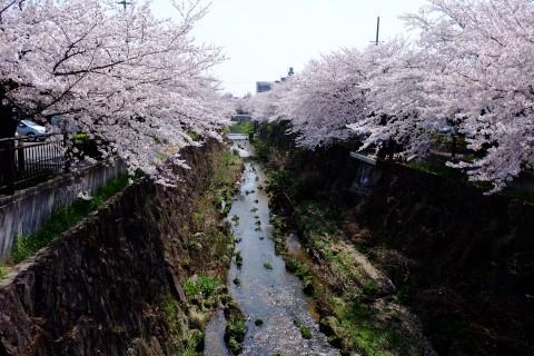Sakura2018-24.jpg