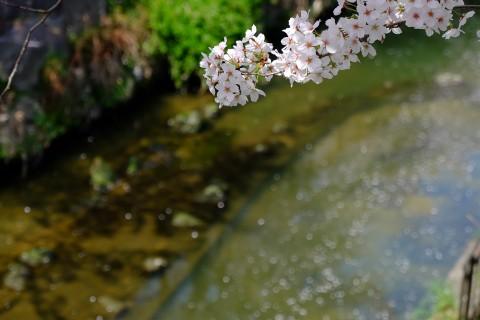 Sakura2018-25.jpg