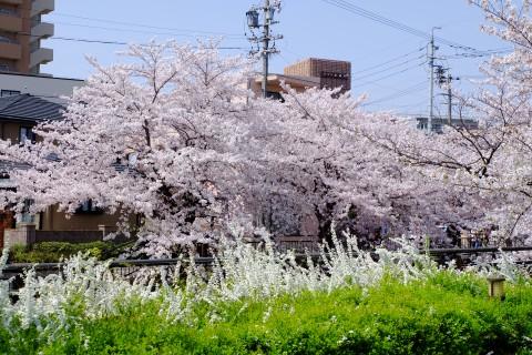 Sakura2018-26.jpg