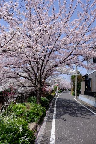 Sakura2018-27.jpg