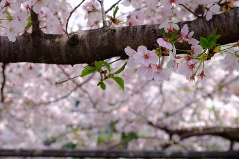 Sakura2018-30.jpg