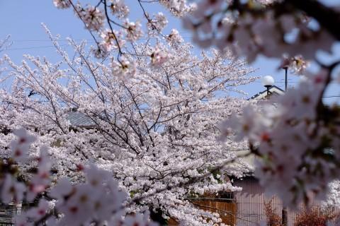 Sakura2018-31.jpg